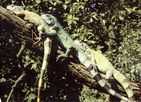 Grußkarte - Gruppe Grüner Leguane