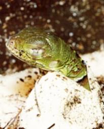 Grußkarte - Grüner Leguan beim Schlupf
