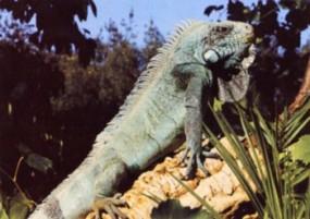 Grußkarte - Grüner Leguan Männchen